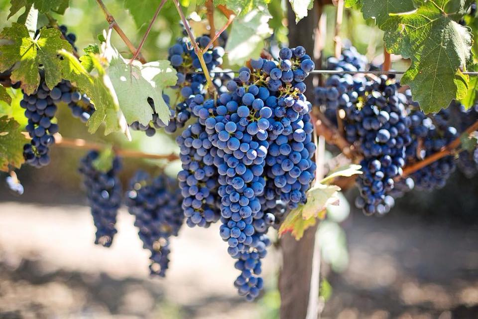 Grapes at Maison Les Bardons